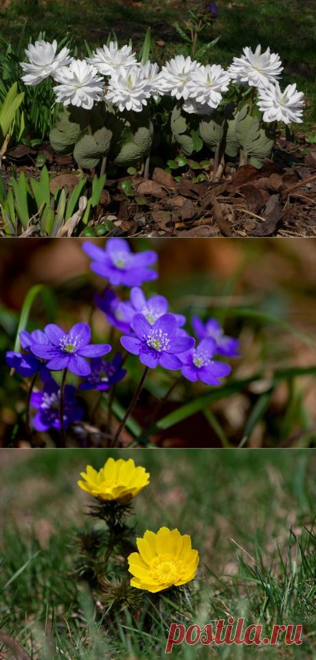 Надоели тюльпаны, примулы и гиацинты? Посадите первоцветы, не как у всех | Хочу на дачу! | Яндекс Дзен