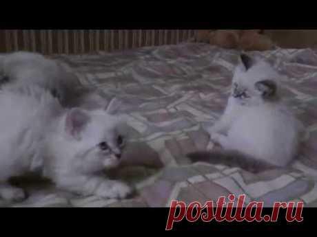 Котята Невские маскарадные помет А