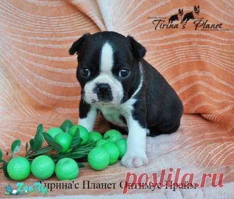 Бостон-терьер щенки, 2 кобеля купить в Минске на сайте объявлений