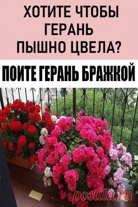 Хотите чтобы герань пышно цвела круглый год? — ПОИТЕ ЕЕ БРАЖКОЙ! Цветение будет продолжаться практически круглый год! #мойдом #цветы #дача #герань #комнатныерастения