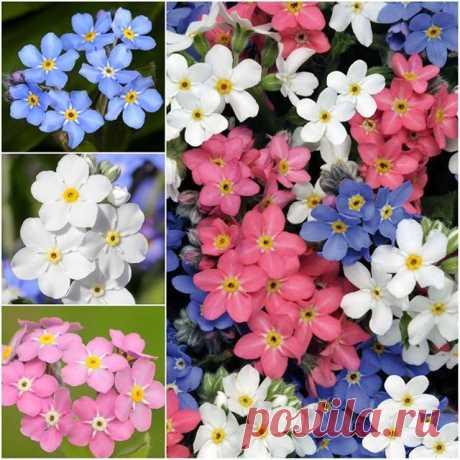 Незабудка – произрастает во многих областях Европы, Азии, Америки, Южной Африки, Австралии и Новой Зеландии. Род насчитывает до 50 видов. Одно-, дву- и многолетние травянистые растения. Стебли ветвистые 10 — 40 см высотой. Листья сидячие, узкие. Цветки обычно голубые с желтым глазком, в соцветиях-завитках, зацветают в мае.  В культуре используют около 10 видов и гибридные формы, объединенные под названием незабудка гибридная. Незабудка альпийская образует компактные кустик...