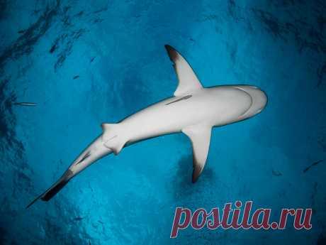 Caribbean Reef Shark Above V Explore altsaint's photos on Flickr. altsaint has uploaded 2960 photos to Flickr.
