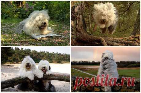 Две очаровательные пастушьи собаки из Голландии : НОВОСТИ В ФОТОГРАФИЯХ