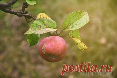 """Что случилось с яблоками – определяем по урожаю Урожай яблок, который вы уже успели собрать и отправить на хранение, на самом деле может кое-что рассказать вам о состоянии их """"здоровья"""", нехватке витаминов, а иногда – и об опасных заболеваниях. Вни..."""