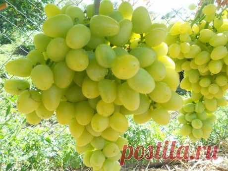 Сорт винограда Аркадия выведен работниками института им. Таирова путем скрещивания сортов Кардинал и Молдова.