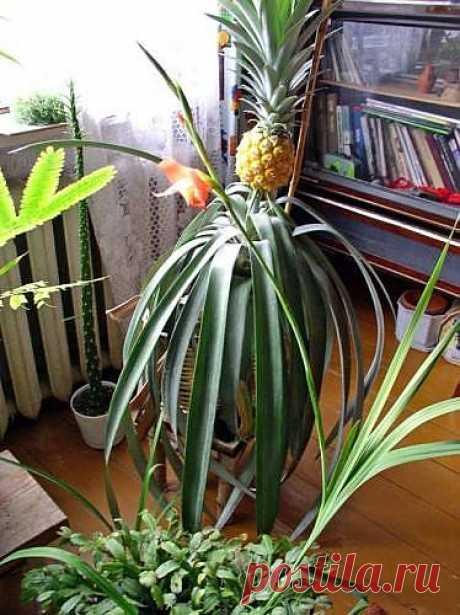 9 правил выращивания ананаса дома.