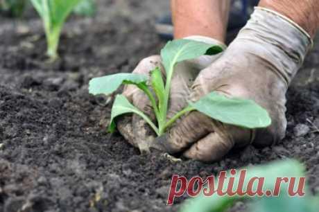 Посадка капусты в открытый грунт: сроки и что стоит учитывать Selo.Guru — интернет портал о сельском хозяйстве