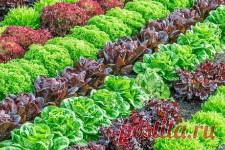 Сорта салатов для выращивания весной, летом и осенью. Описание. Фото — Ботаничка.ru