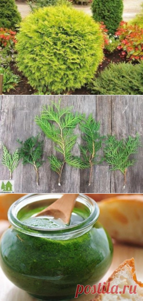 How to multiply a thuja.