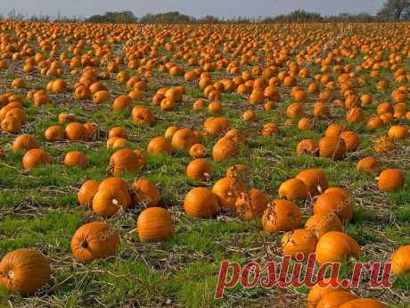 Осень окрашивает мир в золотые цвета. Все становится рыжим – деревья, улицы и, конечно же, царица  огорода – тыква