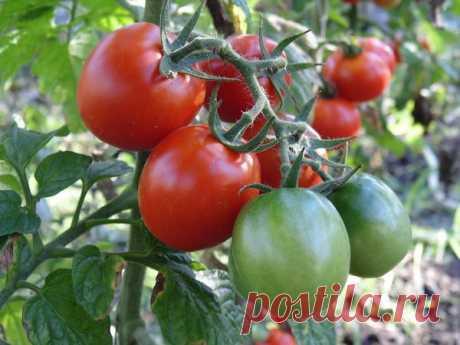 Октябрина Ганичкина: Я выращиваю томаты только так   Огородные хитрости   Яндекс Дзен