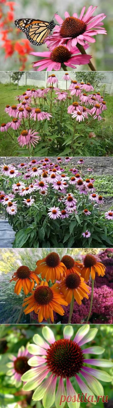 Посадка эхинацеи семенами в открытый грунт — аптечка от природы | Дача - впрок