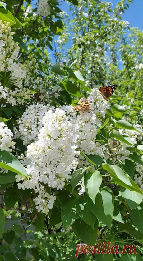 Մեր փողոցով անցնելիս,ոչ միայն հիանում ես սիրո գեղեցիկ նրբերանգներով զարդարված այս քնքուշ ծաղկած ծառերի աննկարագրելի նուրբ բազմերանգությամբ,այլև անուշաբուրությամբ,որով հագեցած է շրջապատի օդը: Յասաման- Արշալույսի քնքուշ ավետաբեր.... ...Լուսաբացին արևի առաջին շողերից արթնանալով..,եթե խոսեր, մաքուր,կուսական լռությամբ կշշնջա հետևյալը...  Սեր....Սիրահարվածություն....Առաջին Սիրո Հուզմունք..  Սպի