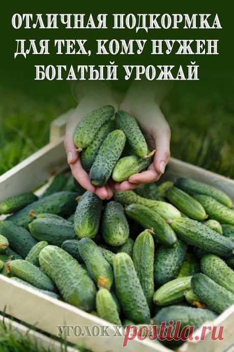 У моей свекрови всегда богатый урожай огурцов. И когда мы купили себе участок, она поделилась со мной рецептом.
