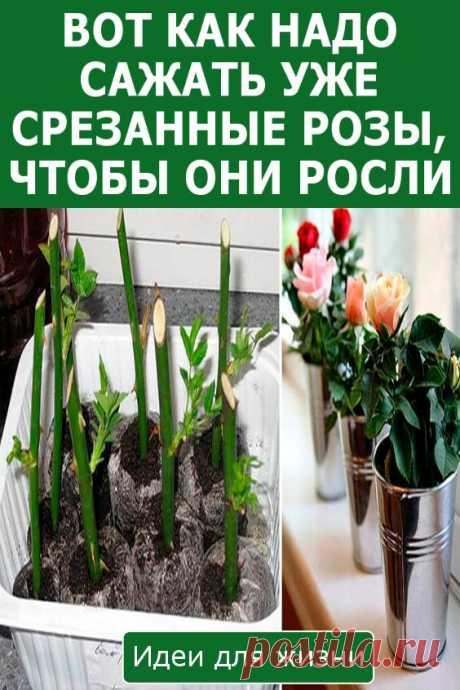 Вот как надо сажать уже срезанные розы, чтобы они росли! Букет из роз – украшение любого помещения. Так хочется, чтобы срезанные растения оставались свежими как можно дольше! Поэтому сегодня мы подготовили для вас советы флористов по уходу за цветами дома. Чтобы цветы продолжали расти и цвести, специалисты предлагают укоренять цветы в домашних условиях.