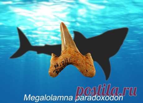 Парадоксодоны оказались не менее впечатляющи, чем их родственники мегалодоны. Эти зубастые гиганты бороздили Мировой океан десятки миллионов лет назад.