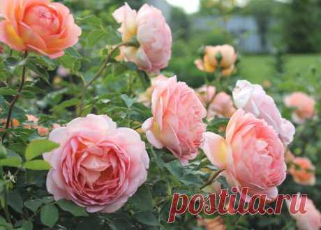Чем кормить розы в мае, чтоб розы обильно цвели все лето | Садоводство с Элен | Яндекс Дзен