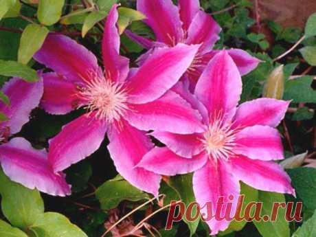 КАК ПОДОБРАТЬ «КЛЮЧИ» К КЛЕМАТИСУ - описание, размножение, уход, посадка, фото, применение в саду, сорта и виды «Из цветов я выращиваю в своем саду только клематисы и розы», — говорит почвовед-эколог Павел ТРАННУА, который любит эти цветы за мощь и силу, а главное за то, что цветут с июня по сентябрь: всё лето участок в ярких цветах. Действительно, клематис по своим возможностям, наверное, самый удобный цветок для украшения загородного дома: им можно …