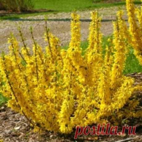 Bushes for a garden - Sadovodka