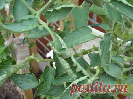 Почему у помидоров скручиваются листья и как с этим бороться :: Сад и огород :: Сад и огород
