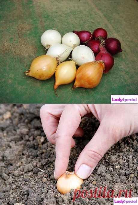 Когда и как сажать лук-севок? - Женский журнал LadySpecial.ru