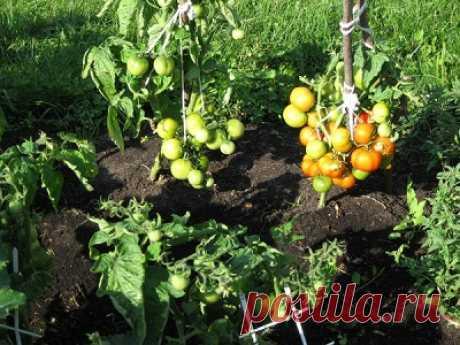 """Сорт томатов """"Бони мм"""" гавриш: особенности возделывания помидор, урожайность и достоинства, выращивание и борьба с вредителями"""