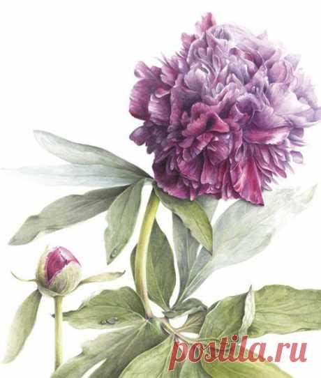 Botanical art by Elaine Searle