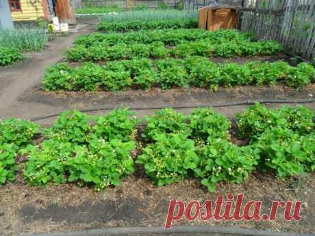 Болезни и вредители садовой земляники — Садоводка