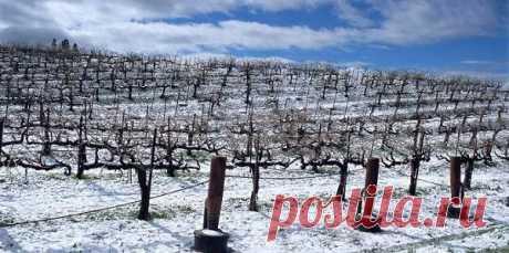 Восстановление виноградника после морозов