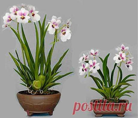 Орхидея Камбрия. Как ухаживать. Фото. Болезни и вредители