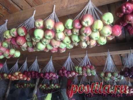 Вот так хранят яблоки на зиму