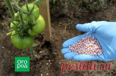 Почему не созревают томаты в теплице и открытом грунте | Томаты (Огород.ru)