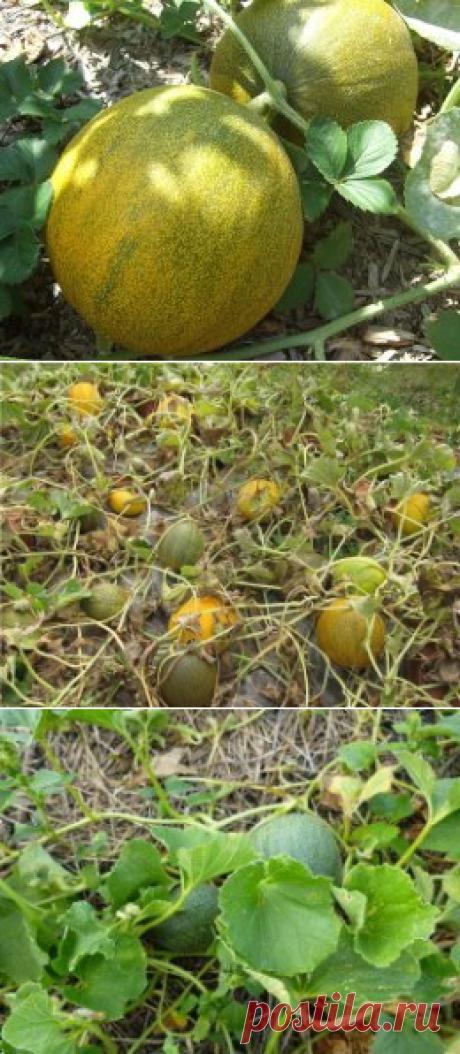 Выращивание бахчи