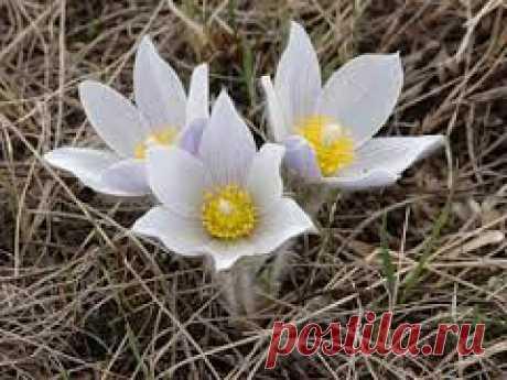 Лекарственные растения Сибири | sadok33.ru