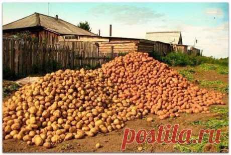 Картофель. Как с 20-ти кустов собрать 40 вёдер  Можно ли вырастить с одного куста - целое ведро картофеля? Можно!!! И сейчас я вам расскажу как это сделать. Я нашла в Журнале о садоводстве вот такие замечательные советы: