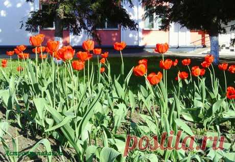 Тюльпаны для Стрельца | Астропропаганда | Яндекс Дзен Автор статьи: астролог Нина Стрелкова. Ни один цветок не имел такой бешеной популярности как тюльпан. Люди буквально сходили с ума из-за этого цветка. Впервые тюльпаны стали выращивать в Персии, откуда они попали в Турцию, где их очень полюбили. Это в основном были красные тюльпаны с острыми как у лилии лепестками, и тонким стеблем, но со временем сорта уже стали исчисляться тысячами. Изображения тюльпанов турки вписывали в орнамент...