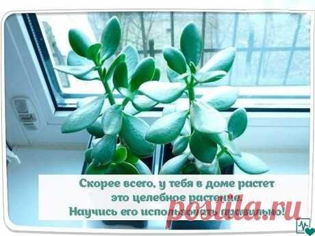 Почти в каждом втором доме растет это целебное растение. Научитесь его использовать правильно!