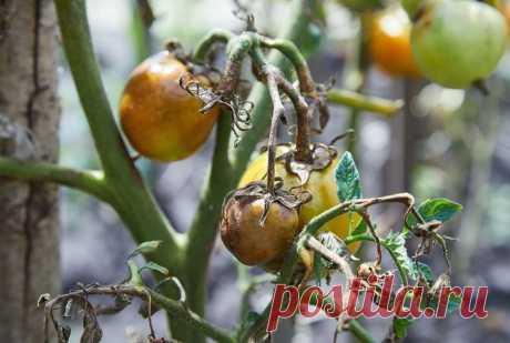 Фитовтороз помидоров: что это, чем лечить, лучшие средства