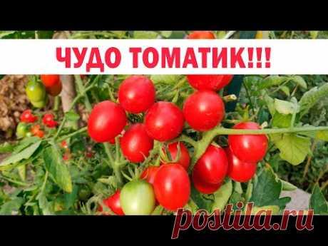 Устойчивый, красивый, урожайный, низкорослый, баночный томат Божья коровка