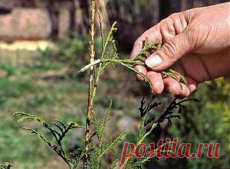 Размножение туи Семенное и вегетативное размножение туи