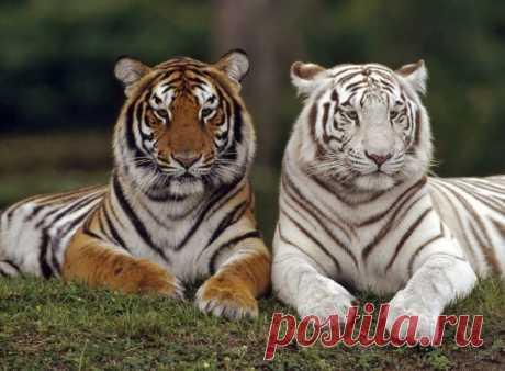Omigu » Tiger  Красивое уникальное фото!!!