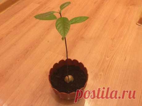 5 растений, которые легко вырастить из косточки   Все о цветоводстве   Яндекс Дзен