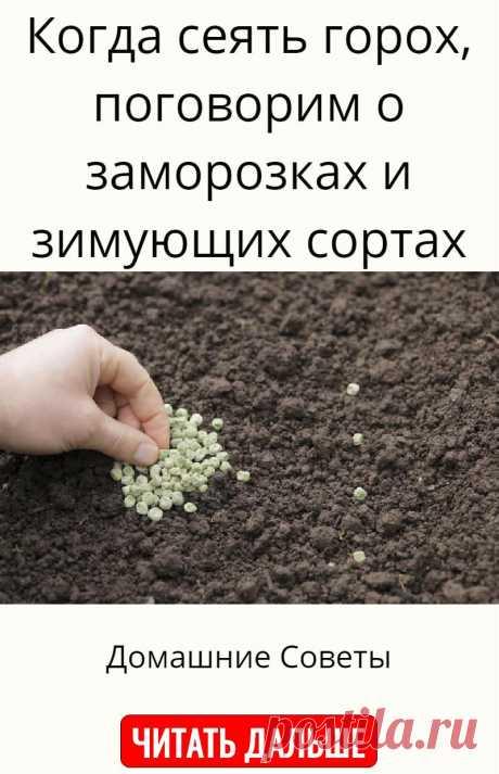 Когда сеять горох, поговорим о заморозках и зимующих сортах