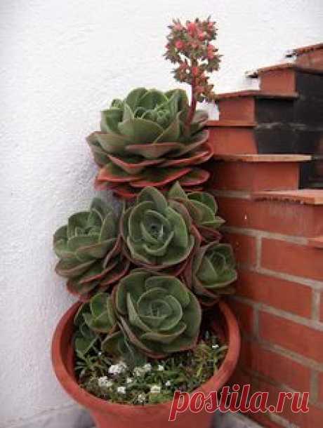 ECHEVERRIA GIBBIFLORA---Echeveria gibbiflora 'Metallica' y…