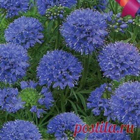 Голубые помпоны в саду | ЗЕЛЕНЫЙ МИР С ЕЛЕНОЙ | Яндекс Дзен
