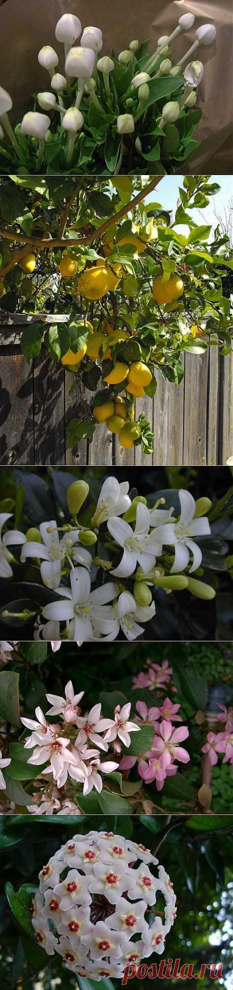 Ароматы круглый год: душистые растения для комнат и зимних садов | Самоцветик