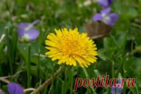 Mniszek pospolity - wiosenne kuracje łodyżkami, zielem i mleczkiem