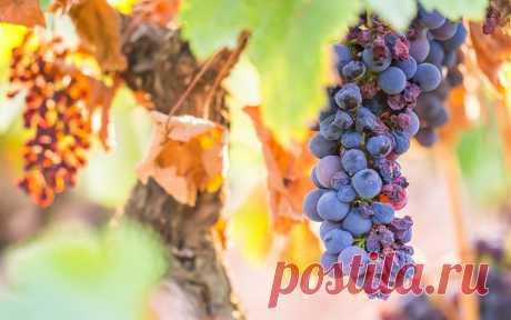 Чем подкормить виноград осенью перед обрезкой и укрытием | Виноград (Огород.ru)