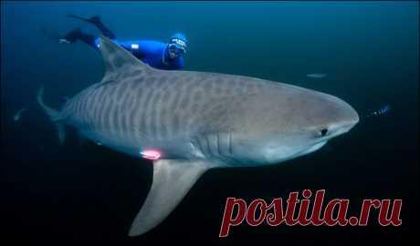"""Тигровая акула. Так кто же на самом деле эти смертоносные и вечно голодные хищники? Маленькое примечание: рассматривать мы будем тигровую акулу Galeocerdo cuvier. Начнем с того, чем же этот вид отличается от других акул? Ну, как здесь уже упоминалось, для акулы характерен """"тигровый"""" окрас, который наиболее заметен у молодых особей. Тигровые акулы имеют белое или желтоватое брюхо, остальная часть туловища раскрашена в холодный диапазон цветов от голубовато-зеленого до темно-серого цвет"""