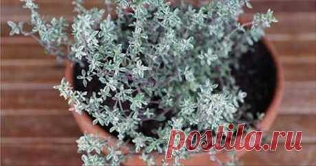 ¡La hierba más potente, que destruye el estreptococo, el herpes, la candidiasis y la gripe!